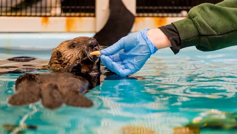 Sea Otter Conservation no Monterey Bay Aquarium na Califórnia