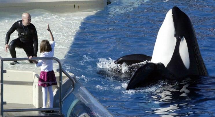 Governo californiano aprovei lei que proíbe criação de orcas