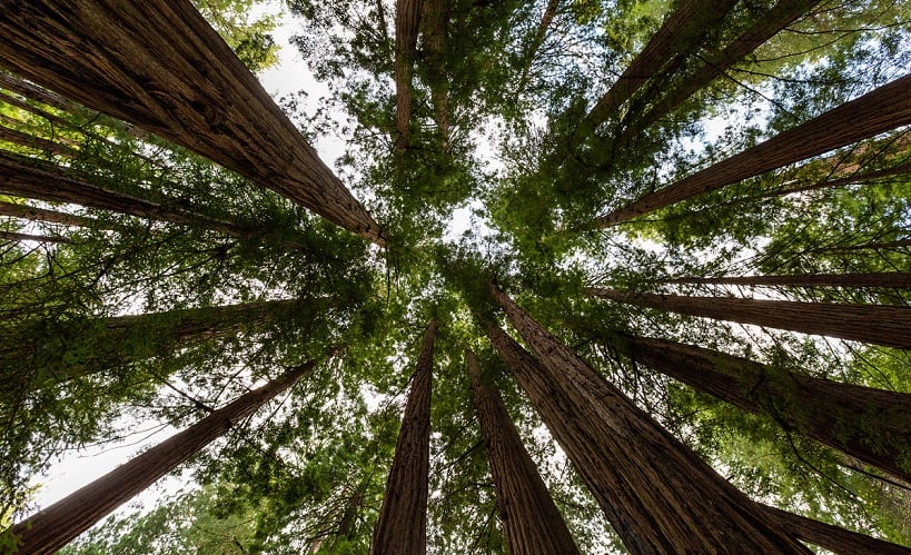 Natureza no Parque Nacional de Muiwoods na Califórnia